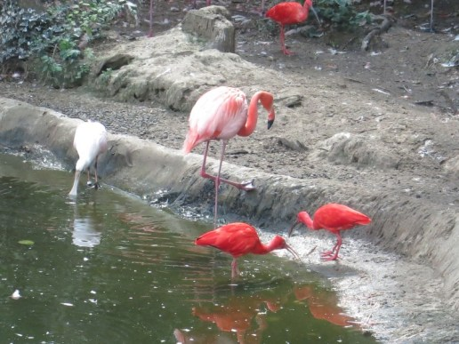 Flamands rouges de Cuba - Zoo de la boissiere du doré